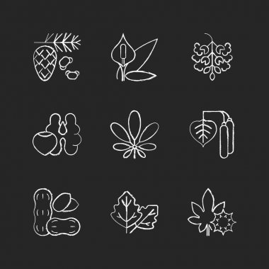 Allergens and allergy causes chalk white icons set on black background. Cedar, pine tree pollen. Peace lily. Poplar tree pollen. Tree nuts, peanut. Isolated vector chalkboard illustrations icon