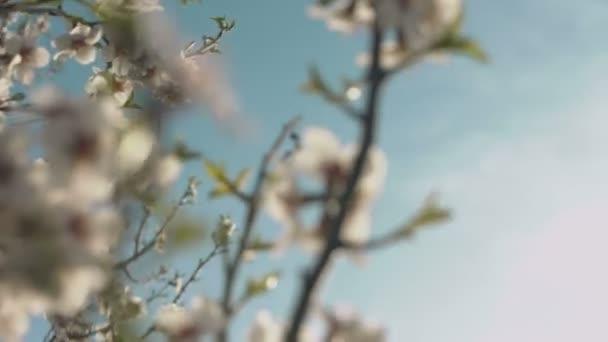 Beautiful spring flowering of almond