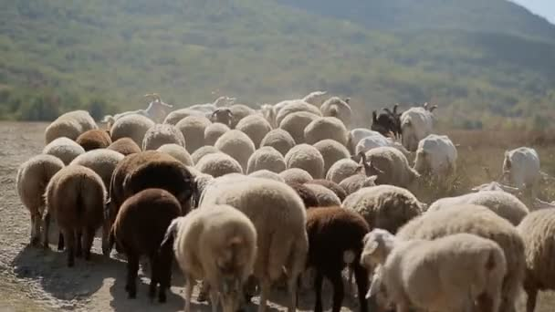 Stádo ovcí a koz pasoucí se na louce v horách