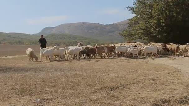 Shepherde, inklinovat stádo ovcí v stepi