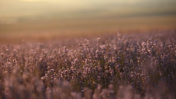Kvetoucí levandule pole poblíž hory