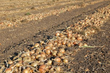 Digged onion wait for the harvesting