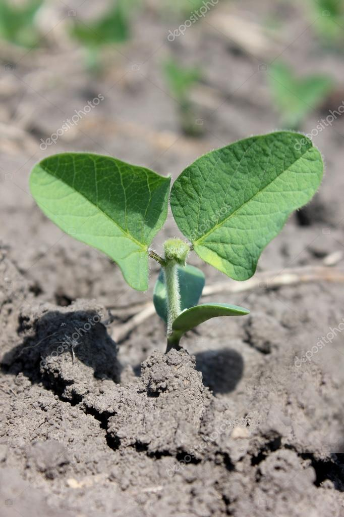 Soybeans leaves