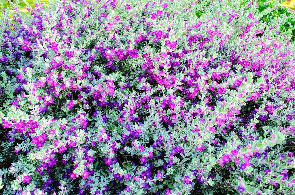 Purple flowering bush stock photo norrabhudithotmail 71474413 background of purple flowers on a bush photo by norrabhudithotmail mightylinksfo