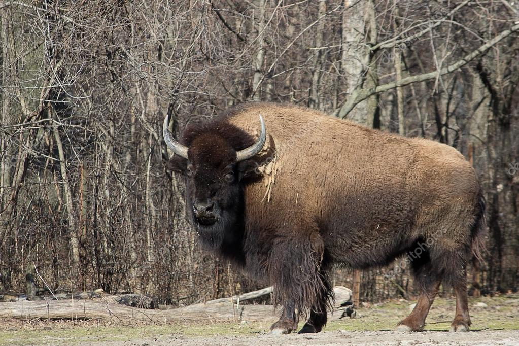 American Bison Stock Photo C Jenta 72981273