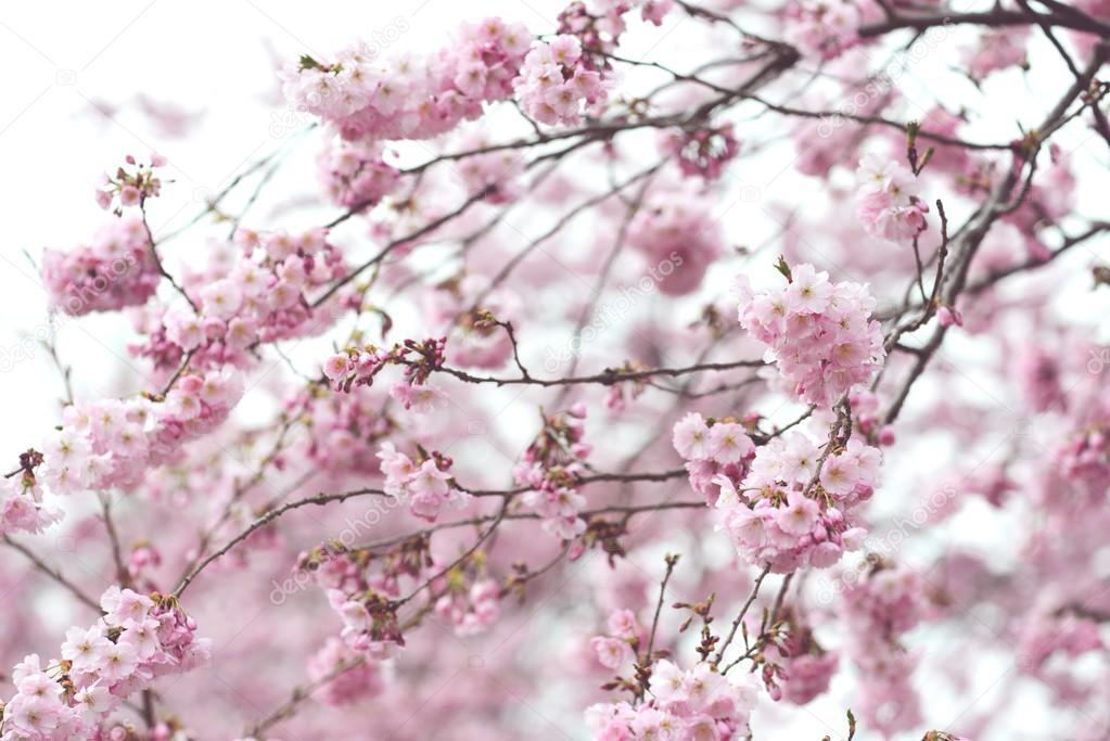 Fondo De Flores Vintage: Rosa Flor De Cerezo En Primavera