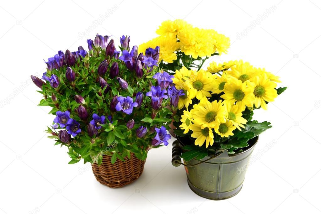 Tre vaso di fiori di genziana blu e crisantemi gialli - Crisantemi in vaso ...