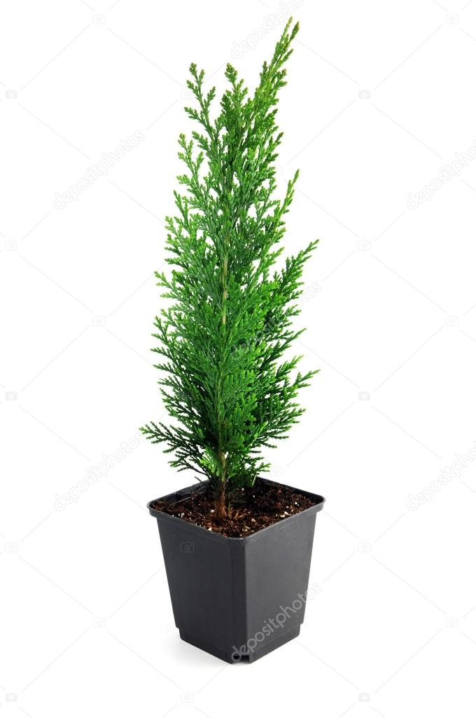 thuja seedling in a flowerpot stock photo lcrms7 97083236. Black Bedroom Furniture Sets. Home Design Ideas