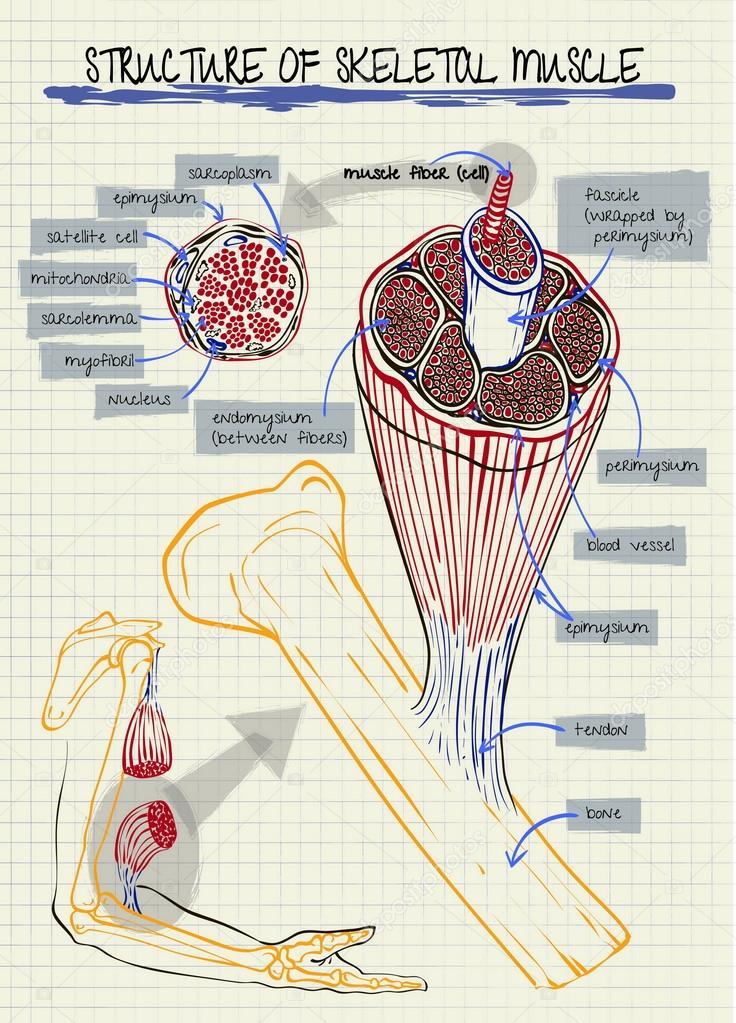 estructura del músculo esquelético humano — Archivo Imágenes ...