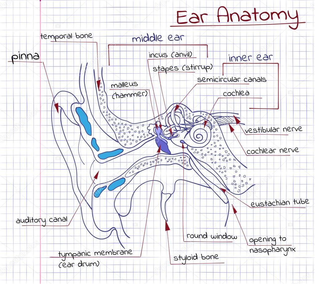 Anatomía del oído — Archivo Imágenes Vectoriales © Silbervogel #65928731