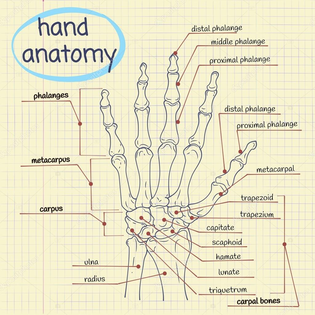 Ziemlich Oberflächenanatomie Der Hand Ideen - Anatomie Von ...