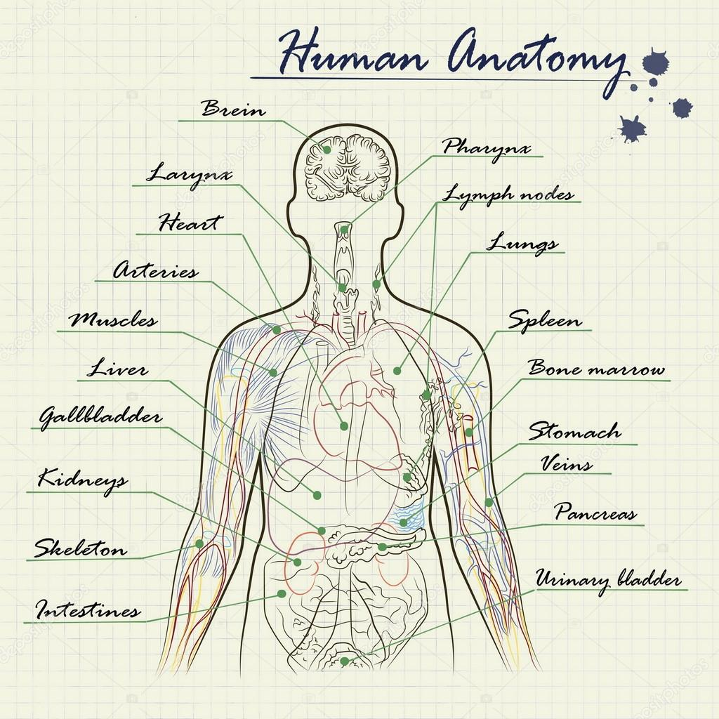 diagrama de la anatomía humana — Archivo Imágenes Vectoriales ...