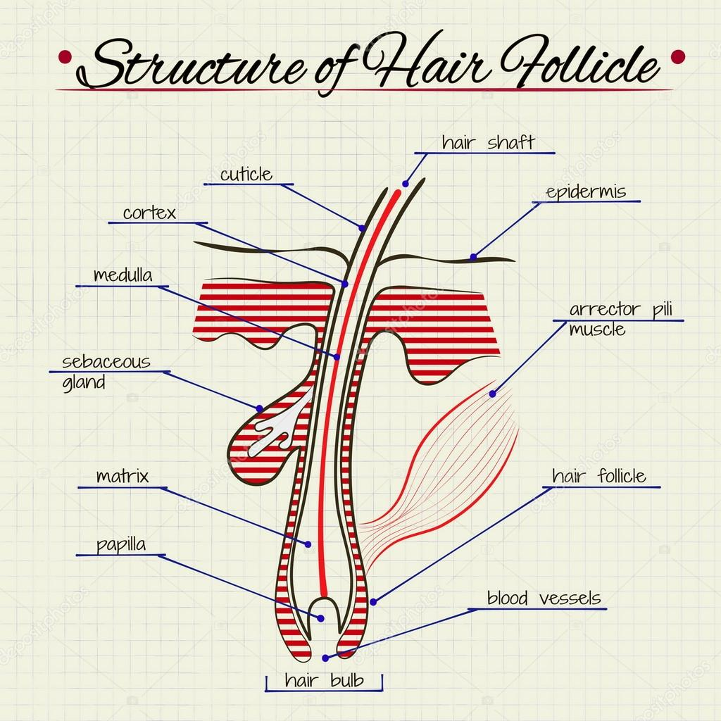 The structure of human hair stock vector silbervogel 72896887 the structure of human hair stock vector pooptronica Choice Image