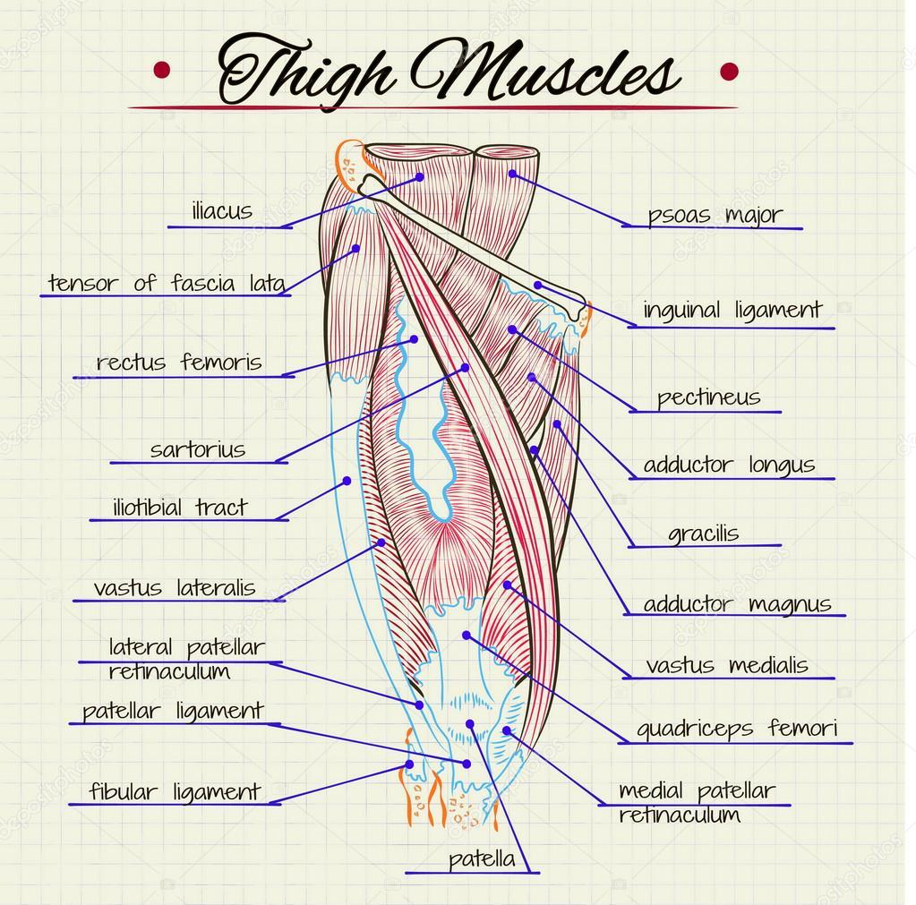 Músculos del muslo humano — Vector de stock © Silbervogel #73312379