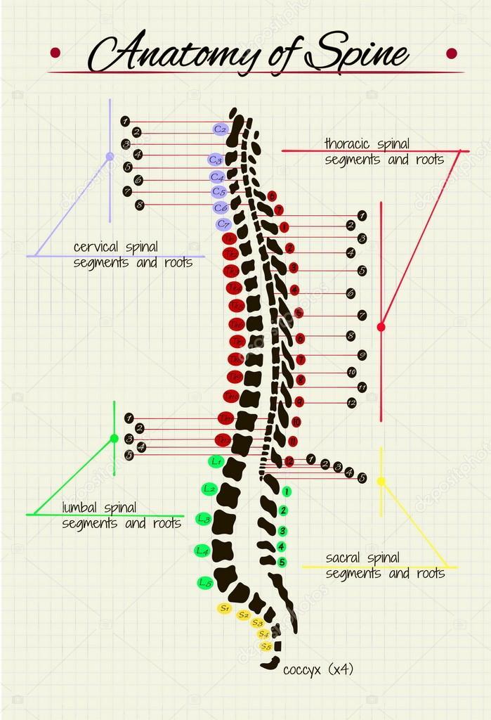 esquema de la columna vertebral humana — Vector de stock ...