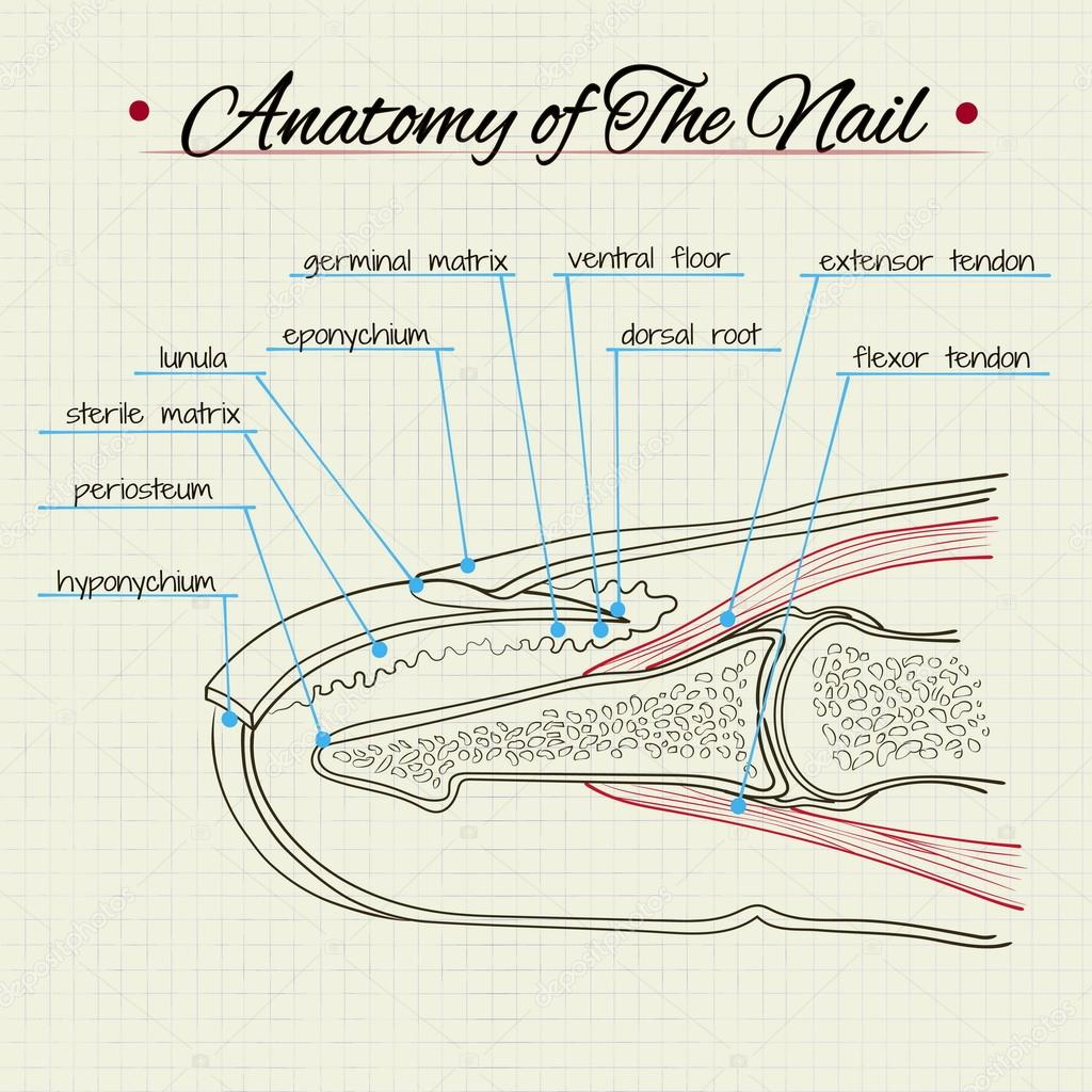 Anatomy of the nail — Stock Vector © Silbervogel #77367468