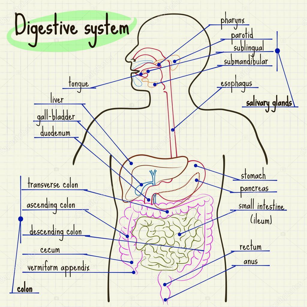 Verdauungssystem des Menschen — Stockvektor © Silbervogel #78210264