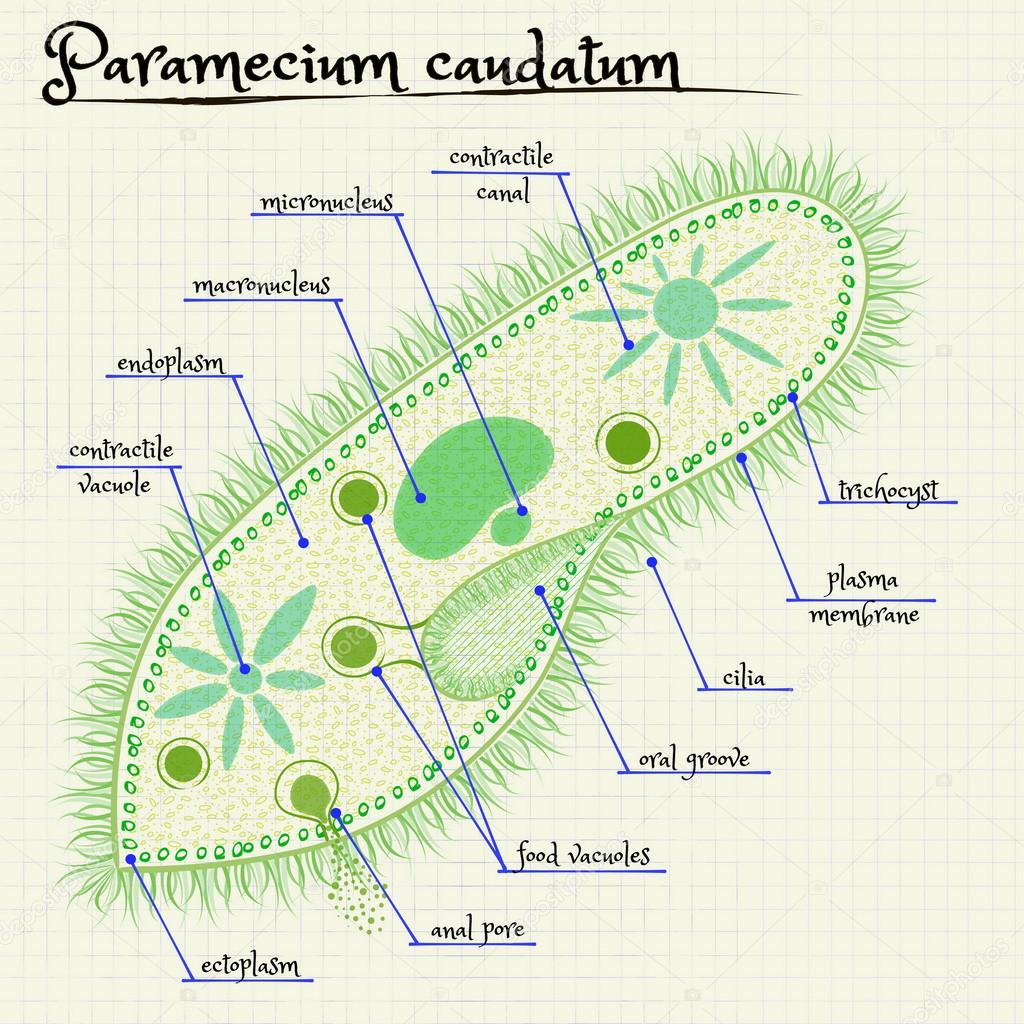 A estrutura do paramecium saudatum vetores de stock silbervogel a estrutura do paramecium saudatum vetores de stock ccuart Images