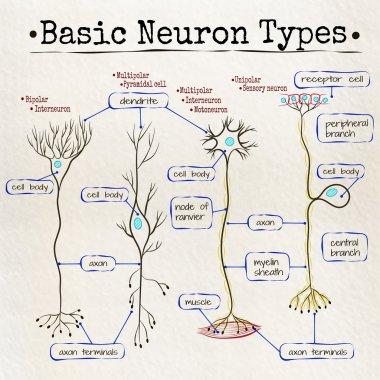 basic types of neurons