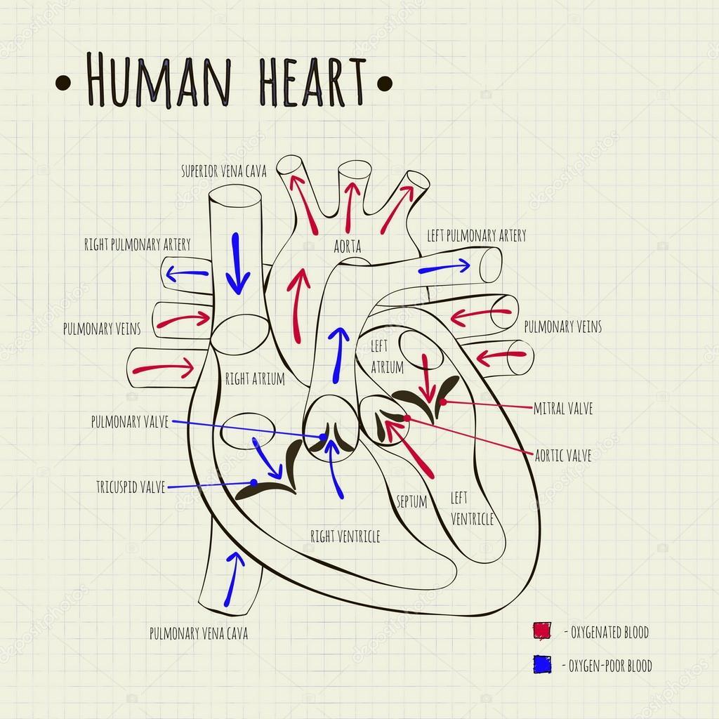 un diagrama del corazón humano — Vector de stock © Silbervogel #82126596