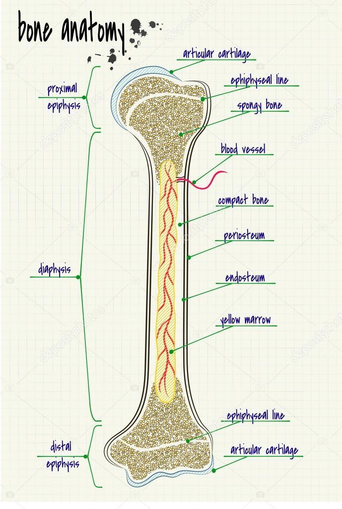 Anatomie menschlicher Knochen — Stockvektor © Silbervogel #84792760
