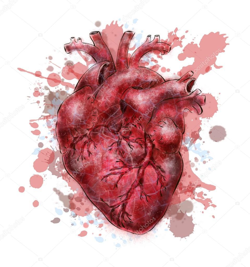 Serce cz owieka grafika wektorowa silbervogel 84793434 - Dessin du coeur humain ...