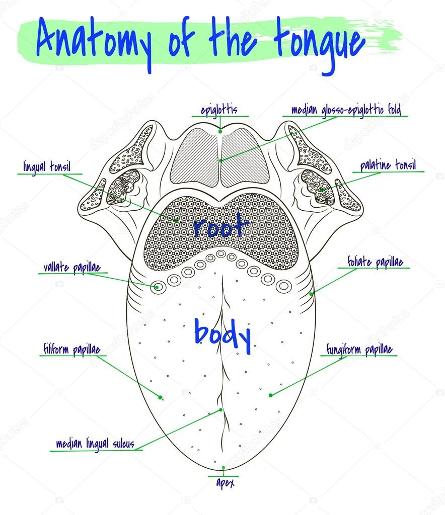 Anatomía de la lengua humana — Vector de stock © Silbervogel #84793630