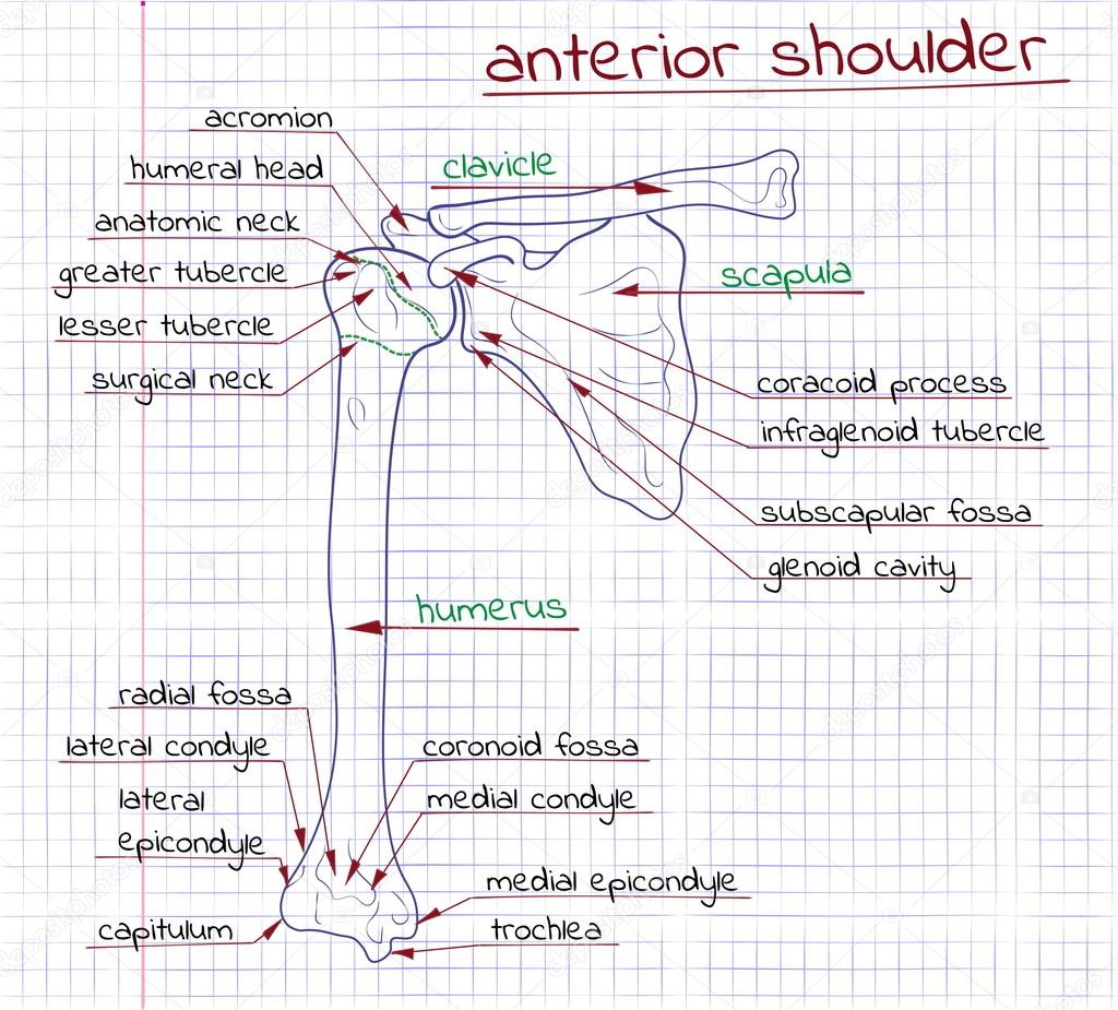 Darstellung der Struktur der menschlichen vorderen Schulter ...