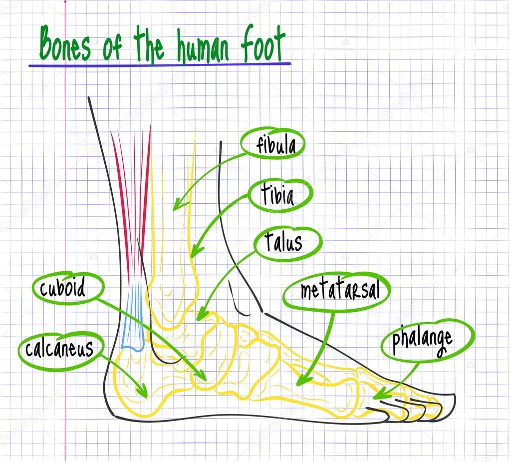 dibujo de la anatomía del pie humano — Archivo Imágenes Vectoriales ...