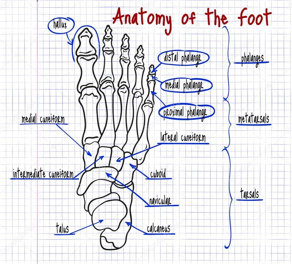 dibujo de los huesos del pie humano — Archivo Imágenes Vectoriales ...