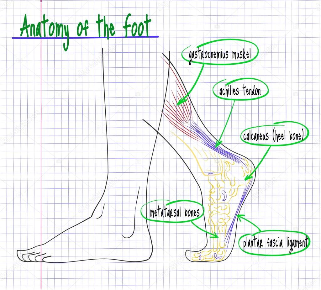 Drawing Of The Anatomy Of The Human Foot Side Stock Vector