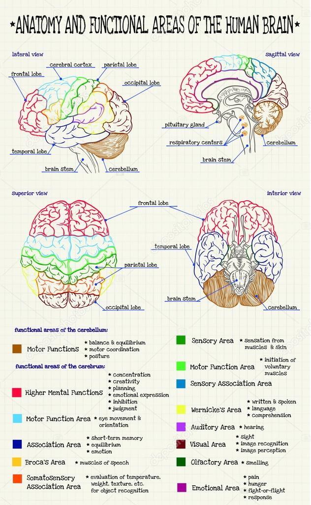 Anatomía del cerebro humano — Archivo Imágenes Vectoriales ...