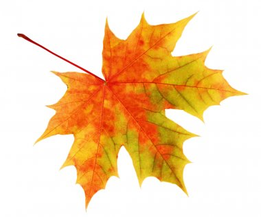 The yellow-red maple leaf