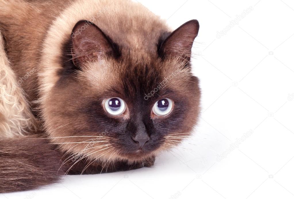 Ritratto Di Un Gatto Siamese Foto Stock Arybickii 93649090