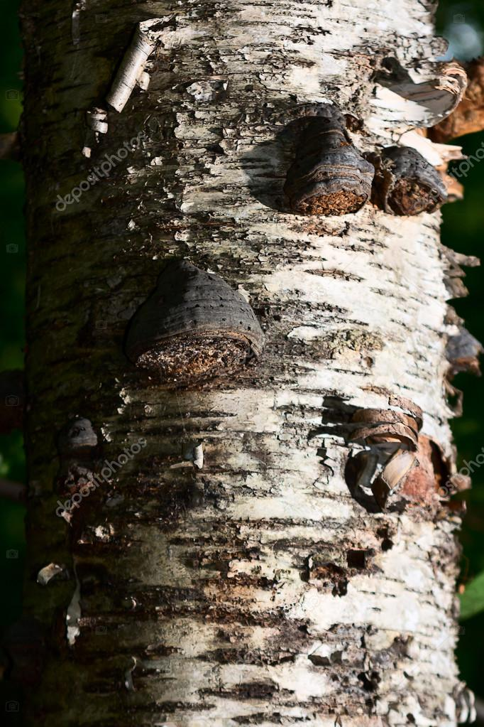 Chaga mushroom on birch in mixed forest.