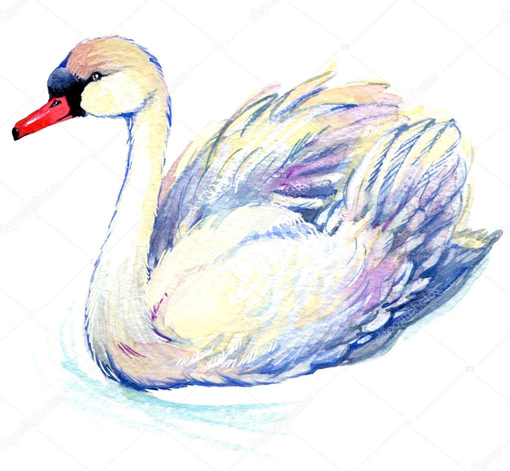 Swan. Swan Watercolor drawing