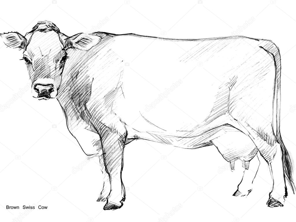 Cow cow sketch dairy cow pencil sketch animal farm brown swiss