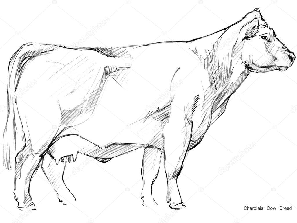 Cow cow sketch dairy cow pencil sketch animal farm charolais cow