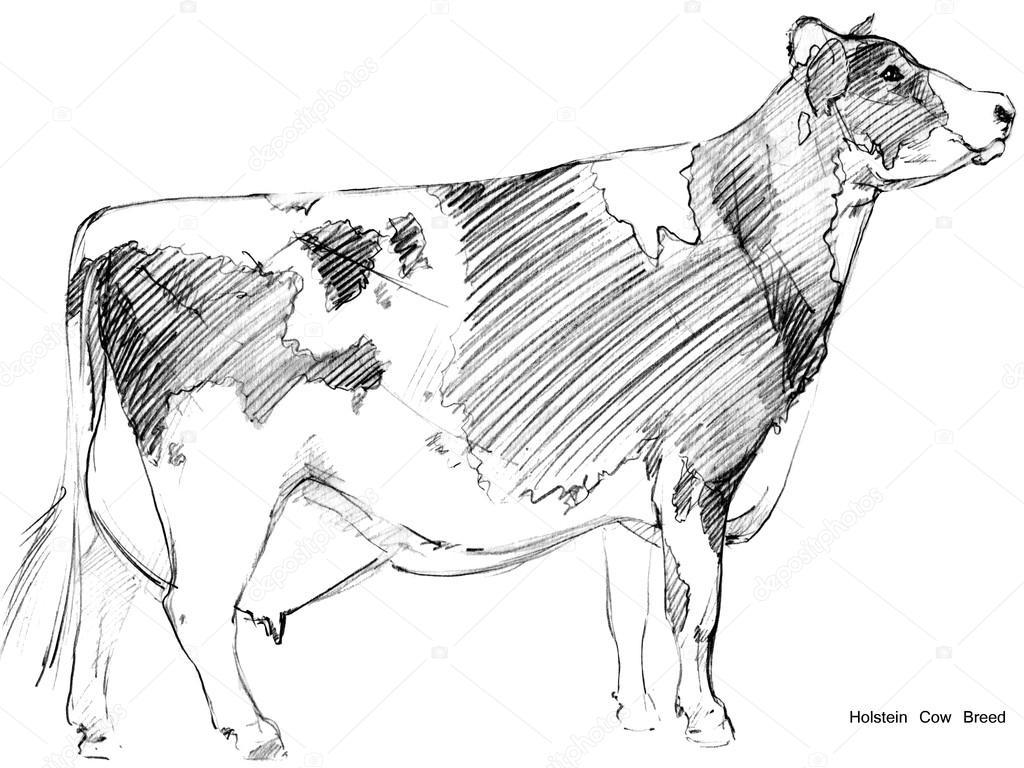 Cow Sketch Dairy Pencil Animal Farm Holstein Breed