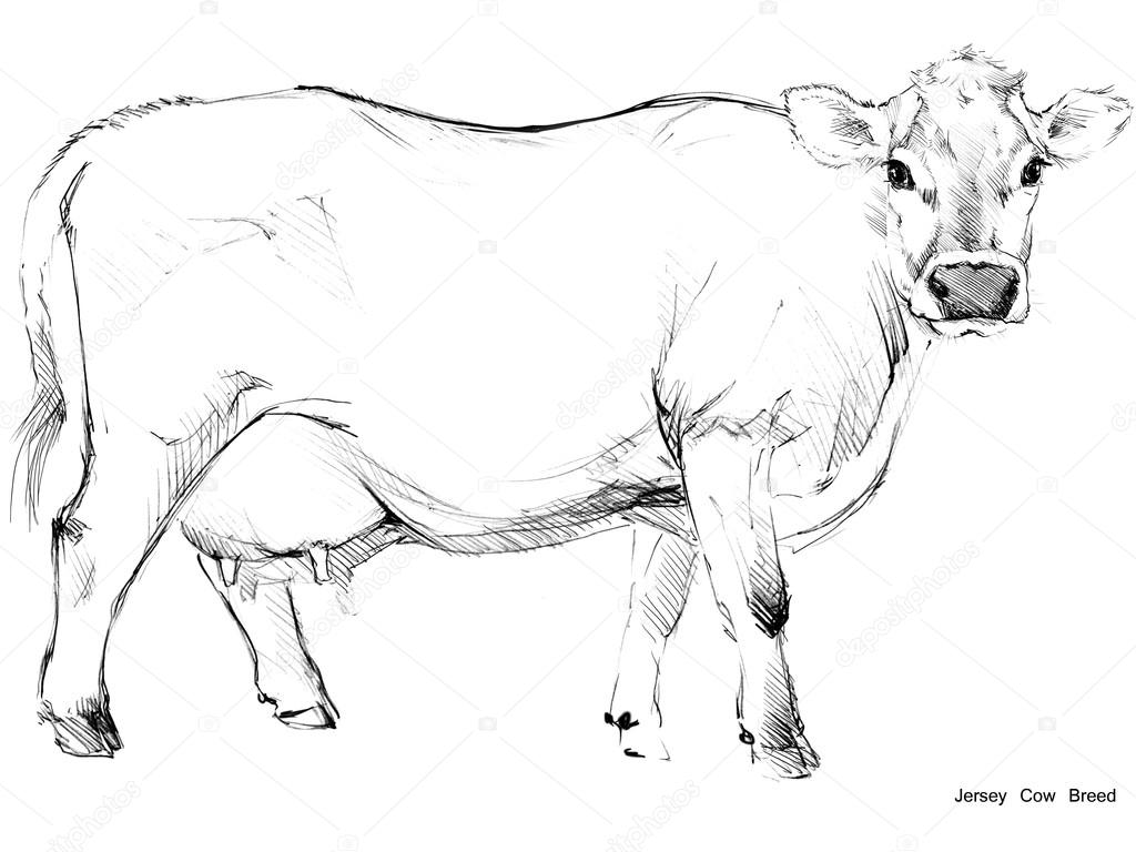 Jersey cow pencil drawing | Cow  Cow sketch  Dairy cow