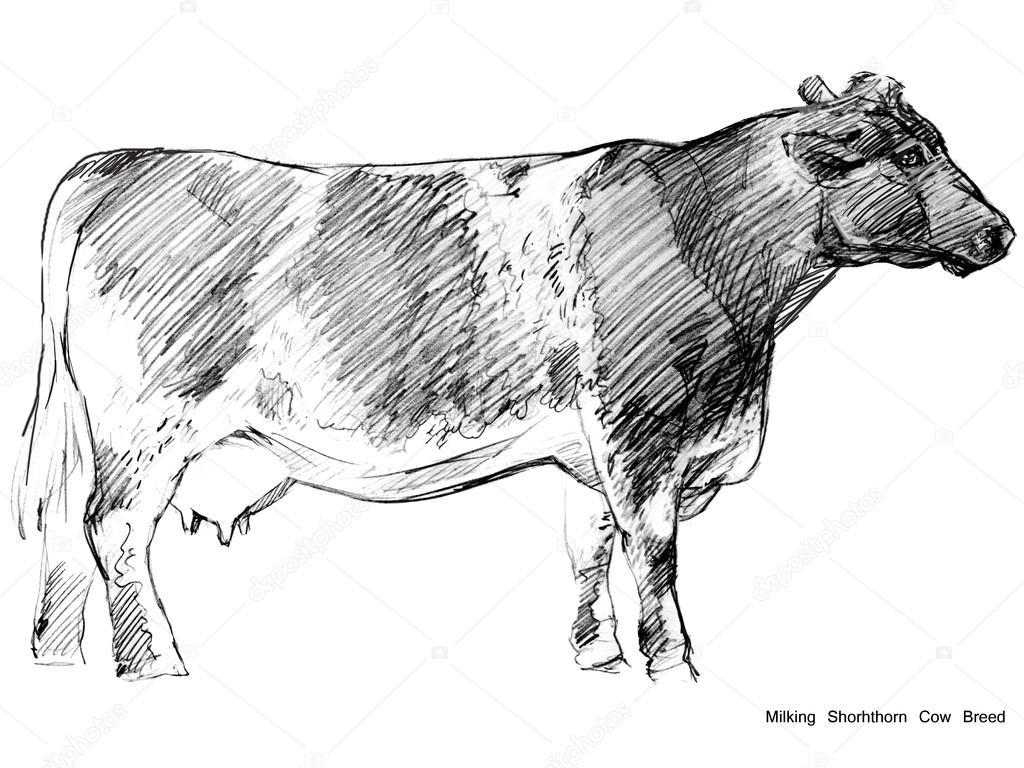 Cow Sketch Dairy Pencil Animal Farm Milking Shorhthorn