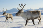 Photo Reindeers in natural environment, Tromso region, Northern Norway.