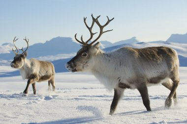 Reindeers in natural environment, Tromso region, Northern Norway.