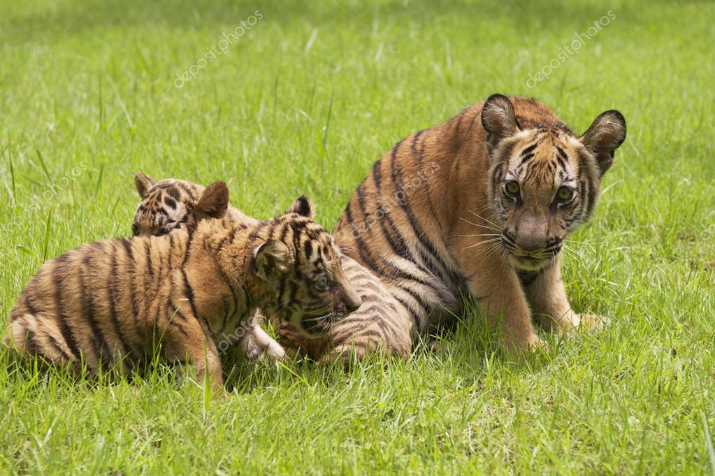 Baby Indochinese tigers play on the grass