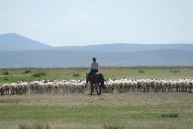 Mongolian man tends herd of sheep circa Harhorin, Mongolia.