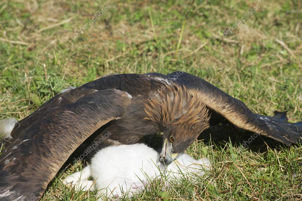 Golden eagle and it's prey on the grass, circa Almaty, Kazakhstan.
