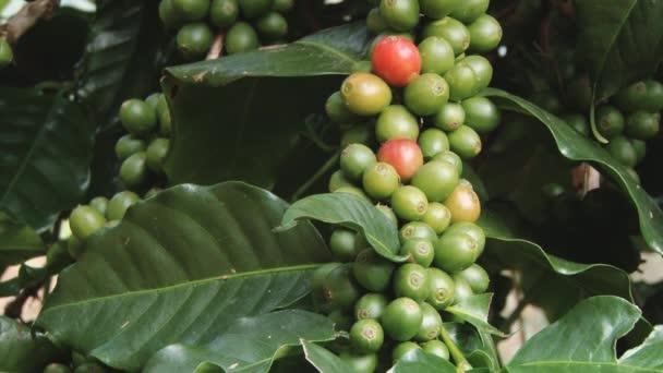 Szemes kávé, növekszik a Doi Ang Khang királyi mezőgazdasági állomás, Chiang Mai, Thaiföld.