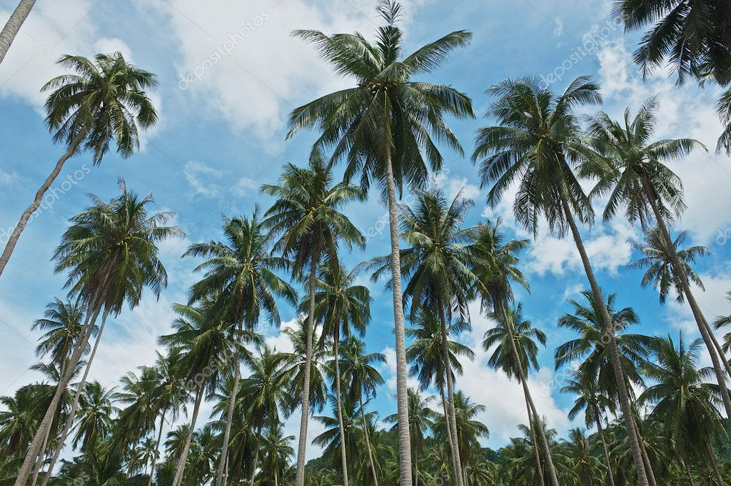 View to the coconut trees plantation at Koh Samui, Thailand.