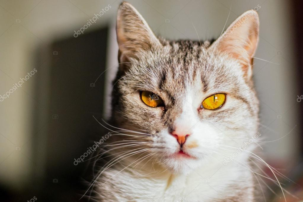 Gatto con gli occhi gialli e pelliccia grigia vista al for Gatti con occhi diversi