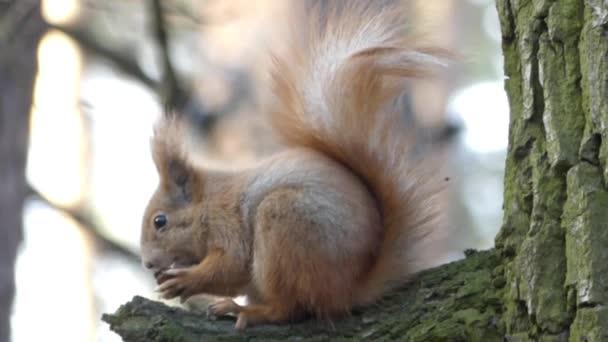 Mókus ül a fa, és eszik diót.